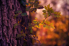 Into the Light (Dane Vandeputte) Tags: autumn light sunlight plant tree green fall leaves forest 50mm gold illinois nikon purple bokeh vine il bark thorns blackwellforestpreserve preserve f28 wheaton blackwell dupagecounty wheatonil flickrchallengegroup flickrchallengewinner sigma1750mmf28exdcoshsm d7200 nikond7200