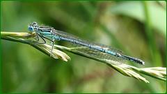 Immature White Legged Damselfly (glostopcat) Tags: riversevern glos tewkesbury whiteleggeddamselfly