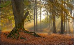 Harlestone Firs x9 (Darwinsgift) Tags: autumn leaves forest woodland northampton nikon f14 voigtlander northamptonshire sl ii heath 58mm nokton firs harlestone d810 3000v120f