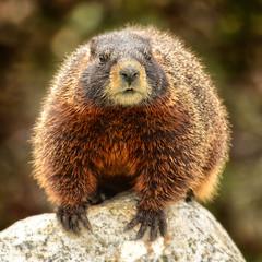 Marmot in the Morning Light (Jeff Clow) Tags: morning wild usa mammal wildlife encounter grandtetonnationalpark jacksonholewyoming