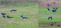 Bonte kraai (pietplaat) Tags: vogels bontekraai pietplaat lentevreugdwassenaar