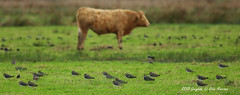 """Into Wind..... or Not!!"" (Robin M Morrison) Tags: cattle windy direction lapwing"