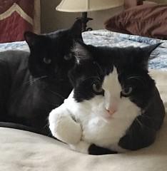 Ava & Cina (ShanMcG213) Tags: cats ava cat blackcat bed huntsville alabama sleepy lazy sleepyhead cina hsv sleepycat blackandwhitecat lazycats huntsvilleal whiteandblackcat snugglebuddies cuddlebuddies