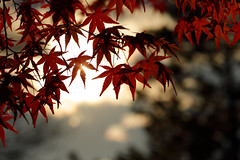 Autumn Colors 2015 (Shigeki_Watanabe) Tags: autumn colors japan canon bokeh 85mm hiroshima reaves
