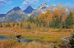 Bull Moose - Grand Tetons in Fall - 1981b+2 (teagden) Tags: park autumn mountain mountains fall nature fallcolors wildlife grand moose bull autumncolors national wyoming grandtetons gt teton tetons grandteton naturephotography bullmoose grandtetonnationalpark gtnp wildlifephotography jenniferhall jenhall grandtetoninautumn jenhallphotography jenhallwildlifephotography grandtetoninfall