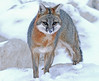 Snowy Gray (marylee.agnew) Tags: gray fox canine snow cold hunting predator weather nature wildlife outdoor