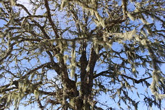 Old man's beard hangs off an oak (rozoneill) Tags: north bank habitat columbia whitetailed deer roseburg wilbur glide sutherlin oregon hiking wildlife refuge preserve umpqua river whistlers bend