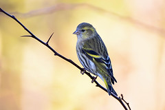 Siskin... (klythawk) Tags: siskin spinusspinus female finch branch dof nature winter yellow pink brown grey black white nikon d500 sigma 150600mmc calkeabbey nationaltrust ticknall derbyshire klythawk