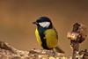 Cinciarella (AIIex) Tags: cincia nikon d7100 tamron 70300 nature bird wild wildlife darktabe opensource greattit wood bosco
