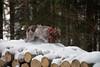 _DSC5011 (sochacki.info) Tags: szyszka griffon wirehaired pointing wpg gundog winter snow hunting dog poland sanok forest walk outside freezing