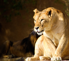 Planning attack (a.el) Tags: 500px king riyadh saudiarabia zoo animal animals cat focused hunter lion lioness nature predator prepared tawny wild danger