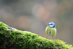 Backlight (Guido de Kleijn) Tags: eurasianbluetit pimpelmees guidodekleijn nikon