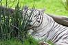 White Tiger (castorssito) Tags: tiger tigreblanco zoo aragon nikon nikond3200 felino felines bigcats