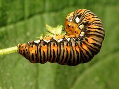 Gold Moth Caterpillar (treegrow) Tags: washingtondc rockcreekpark lifeonearth nature canonpowershotsx40hs raynoxdcr250 arthropoda insect lepidoptera noctuidae basilodespepita taxonomy:binomial=basilodespepita moth