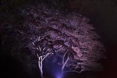 Westonbirt Arboretum (unborn_tiger) Tags: peaceful quiet tree light dark night winter spooky pink purple nature arboretum westonbirt together