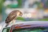 Monday (wn_j) Tags: birds birding birdsofprey wildlife wildanimals wildlifephotography nature naturephotography redtailhawk raptors raptor phillyhawk philadelphia franklinhawks franklinhawk