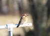 Northern Flicker (danstambaugh) Tags: flicker nature birder birding birdwatching pa patnc audobon