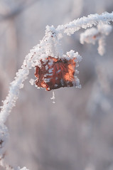 DSC_9850 (gabriella.hafner) Tags: januar macro cold hungary zúzmara tél winter hideg nature