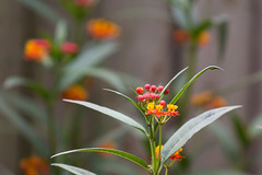 Butterfly weed (M.D. Photos) Tags: butterflyweed