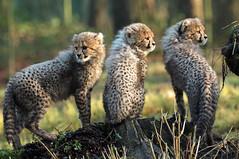 cheetah Burgerszoo JN6A9076 (j.a.kok) Tags: cheetah jachtluipaard acinonyxjubatus acinonyxjubates burgerszoo burgerzoo cat kat mammal zoogdier predator africa afrika