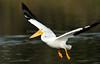 LakeChabot_123116_218 (kwongphotography) Tags: lakechabot castrovalley birds calif americanwhitepelican pelican wildlifephotography nature naturephotography wildlife birdsinflight unitedstates