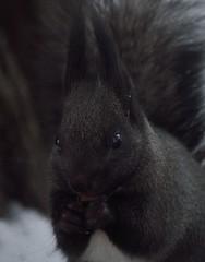 DSC_1666 (anla0070) Tags: squirrel elagin saint petersburg winter park snow black