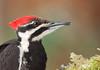 Pileated Woodpecker (Martin Dollenkamp) Tags: dryocopuspileatus vancouverisland pileatedwoodpecker d700 woodpecker