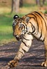 Royalty (Dr.Bhattu) Tags: royal bengal tiger walking tigris panthera telangana tadoba national sanctuary reserve chandrapur maharashtra drbhattu wildlife photography hyderabad india