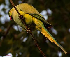 Bird (35) (mshubhajyoti) Tags: shubhajyotimohapatra birdsiitk bird parakeet ngc fantasticwildlife