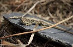lézard sur ardoise (bulbocode909) Tags: nature reptiles lézards ardoise hiver valais suisse