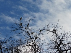 Birds On Tree (Chic Bee) Tags: birds backyard tree branch mockingbird canonsx60hs wintermonsoon winter monsoon tucson arizona southwesternusa americansouthwest america northamerica