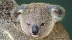 431601.jpg (Vallesty) Tags: bychipvnimageuploader australia koala phascolarctos animal animals australian cinereus close closeup closeups detail details exterior fauna head heads koalas life looks marsupial marsupials nature outdoor outdoors outside photo portrait portraits pup ups wild