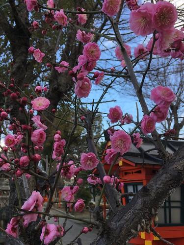 大利神社の梅ノ木