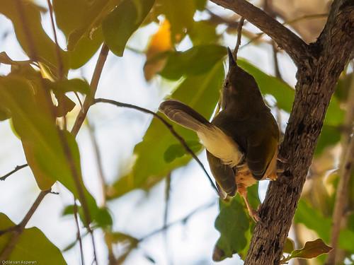 Grey-backed Camaroptera/Camaroptera brevicaudata