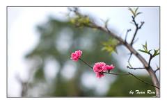 SHF_4119_peach blossom (Tuan Râu) Tags: 1dmarkiii 14mm 100mm 135mm 1d 1dx 2470mm 2017 50mm 70200mm canon canon1d canoneos1dmarkiii canoneos1dx peachblossom hoađào hanoi nhậttân dof bokeh flowers hoa đào tuanrau tuan râu