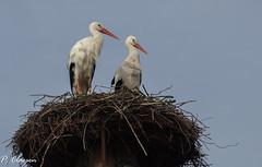 Storks (pclaesen) Tags: stork storks ooievaar bird birds birdphotography zoo dierentuin sony natuur nederland netherlands sonyphotography sonypictures beeksebergen safariparkbeeksebergen hilvarenbeek brabant ciconiaciconia
