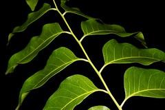 Ganophyllum falcatum (andreas lambrianides) Tags: ganophyllumfalcatum sapindaceae scalyash daintreehickory australianflora australiannativeplants australianrainforests australianrainforestplants arfp warfp qrfp ntrfp lowlandarf monsoonarfdryarf monsoonarf dryarf ganophyllum