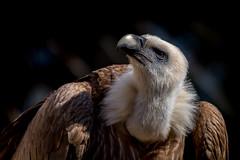 Griffon vulture / Buitre común (bienve958) Tags: griffonvulture buitrecomún birds aves gypsfulvus voltorcomú carroñero portrait animal saariysqualitypictures avianexcellence