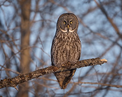 Going Out on a Limb... (DTT67) Tags: greatgrayowl owl ggo grayowl bird perched nature wildlife nationalgeographic northamerica canon 500mmii