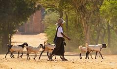 Goatherd in Bagan (jennifer.stahn) Tags: travel temple nikon asia jennifer burma goat myanmar goatherd birma reise bagan stahn d7000