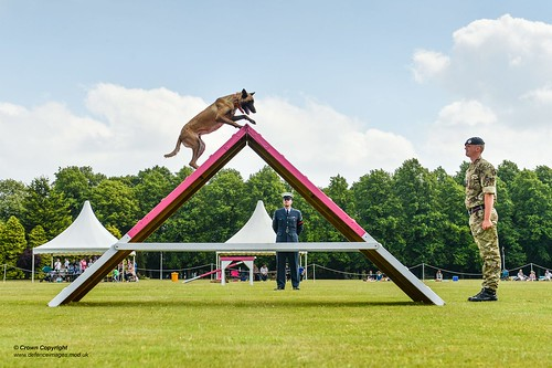 An RAF Police Dog Showing his agility during the The RAF Police Military Working Dogs (MWD) trials.