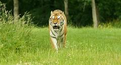 Amur Tiger (Annette Rumbelow) Tags: park tiger safari wilson endangered siberian captive longleat siberiantiger annette bigcats carnivore amur rumbelow httpwwwlongleatcouk