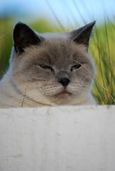 DSC_0519 (juberhas) Tags: summer pet animal cat exterior outdoor gato verano british mascota britanico verano2012