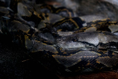 Lost World of Tambun (phalinn) Tags: world park family holiday water birds animal fauna canon lost eos flora asia outdoor snake wildlife tiger lizard explore anaconda malaysia 7d theme cuti ipoh ular taman asean sunway tapir phyton perak kinta sawa tema binatang tambun harimau darul cipan haiwan ridzuan