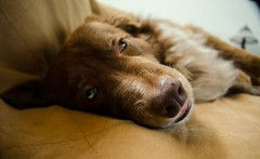 The Last Photo (Packing...So Excited!!!) Tags: photo ddc 1429 thelastone layingonthecouch shizandra chocolatebordercolliemix
