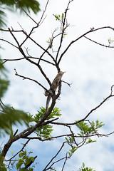 08-2015 Rincon de la Vieja Iguana 1 (Mad Potoo) Tags: costa de la vieja rica iguana rincon garrobo