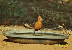 Casaca-de-couro (Pseudoseisura cristata) (Egberto Arajo) Tags: brasil nordeste avifauna paraba caatinga cristata caririparaibano boavistapb casacadecouro pseudoseisura