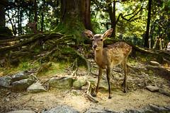 Nara: Deer in Nara Park (Odigo Travel) Tags: park temple shrine buddha deer nara