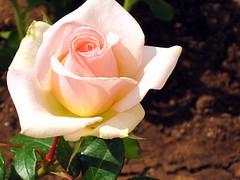 IMG_2583 - era de maggio (molovate poco presente) Tags: primavera casa tommaso rosa villa fiore maggio fresca giardino svezia bocciolo aiuola aulentissima volate ciullodalcamo tafme molovate canondigitalixus980is aviontraveleradimaggio