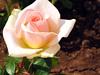 IMG_2583 - era de maggio (molovate) Tags: primavera casa tommaso rosa villa fiore maggio fresca giardino svezia bocciolo aiuola aulentissima volate ciullodalcamo tafme molovate canondigitalixus980is aviontraveleradimaggio